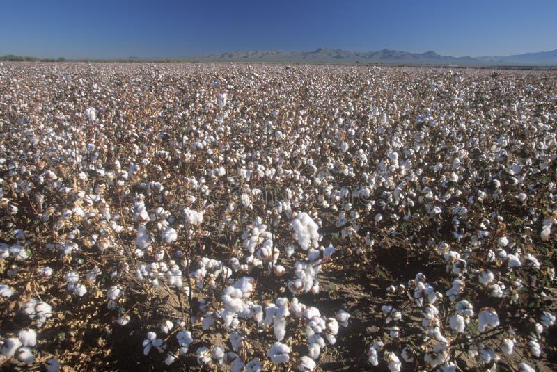 Τομέας βαμβακιού στο Tucson, AZ στοκ εικόνες με δικαίωμα ελεύθερης χρήσης