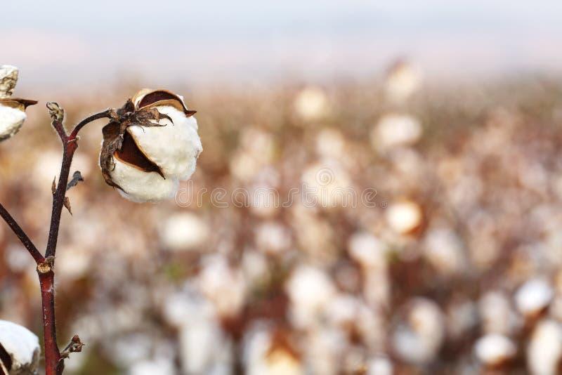 Τομέας βαμβακιού στοκ φωτογραφία με δικαίωμα ελεύθερης χρήσης