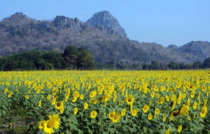 Τομέας ηλίανθων με το βουνό Saraburi Ταϊλάνδη στοκ φωτογραφία