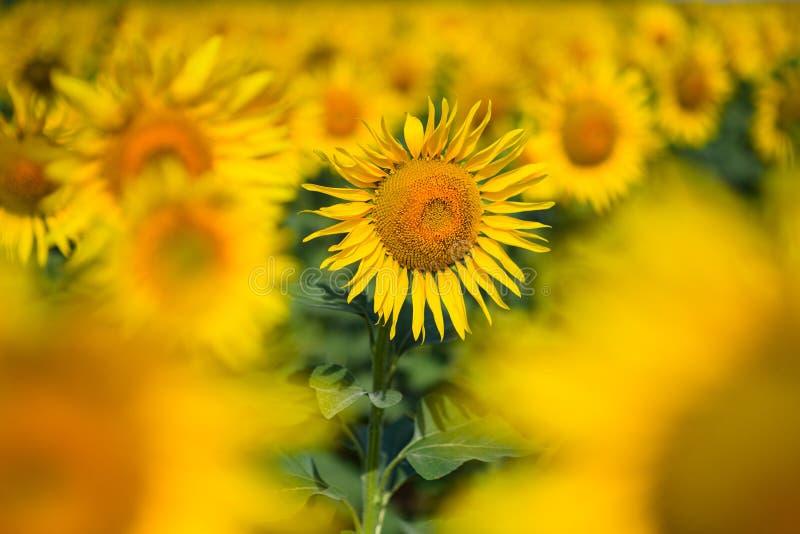 Τομέας ηλίανθων Πολλοί κίτρινος ηλίανθος σε έναν τομέα στοκ φωτογραφία με δικαίωμα ελεύθερης χρήσης