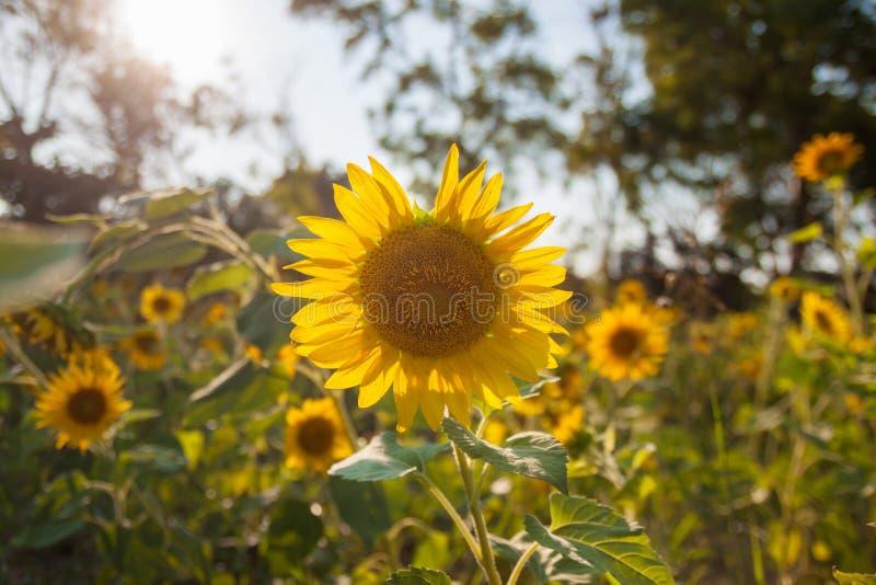 Τομέας ηλίανθων στη φύση ηλιοβασιλέματος στοκ εικόνες με δικαίωμα ελεύθερης χρήσης