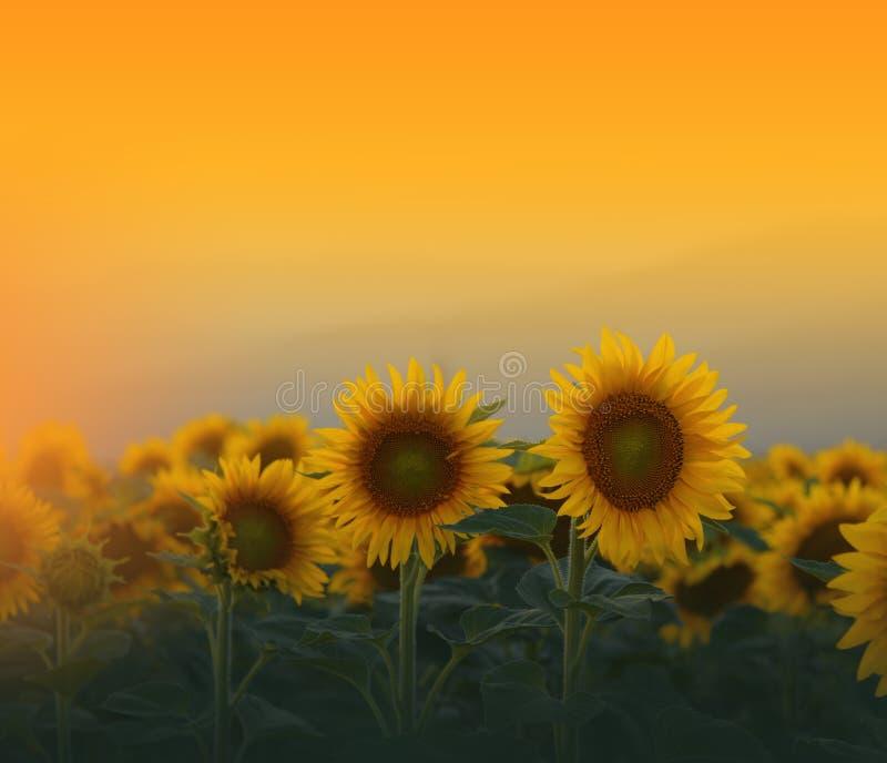 Τομέας ηλίανθων στο ηλιοβασίλεμα Όμορφο πορτοκαλί υπόβαθρο φύσης Αφηρημένη καλλιτεχνική ταπετσαρία o Floral σχέδιο r στοκ εικόνες με δικαίωμα ελεύθερης χρήσης