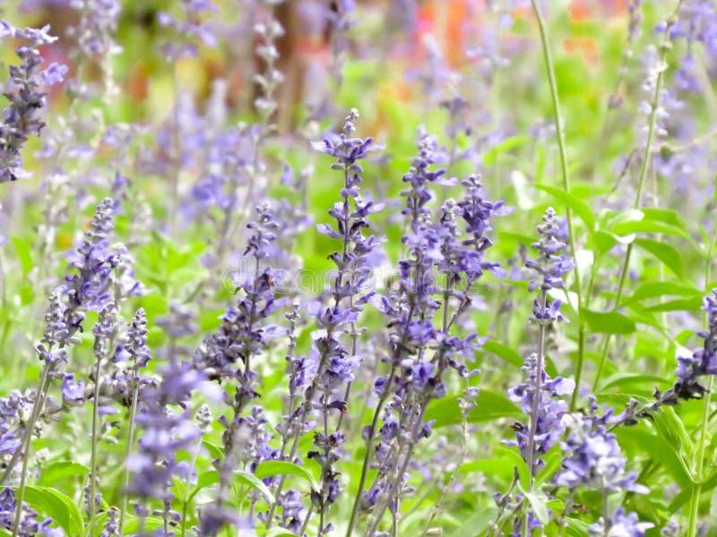 Τομέας κήπων lavender των λουλουδιών στοκ εικόνα
