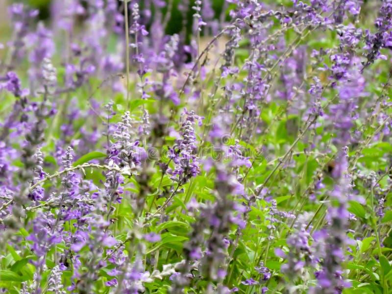 Τομέας κήπων lavender των λουλουδιών στοκ φωτογραφίες