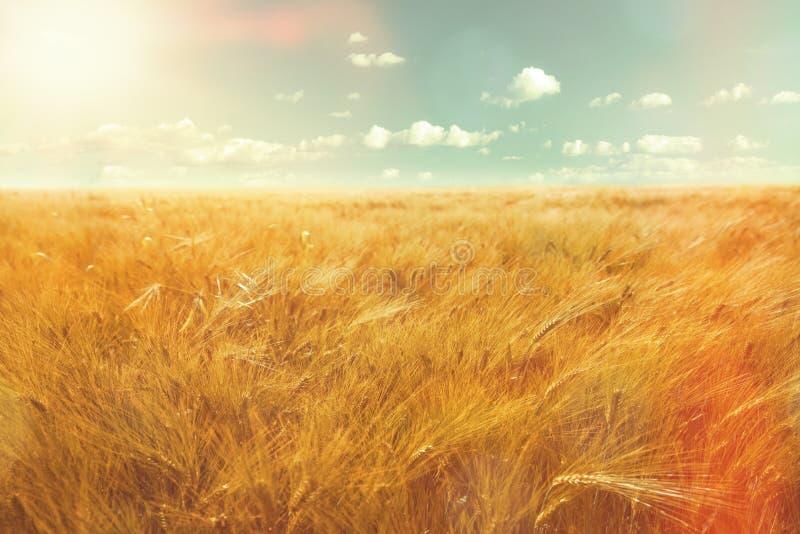 Τομέας και φως του ήλιου κριθαριού στοκ εικόνες με δικαίωμα ελεύθερης χρήσης