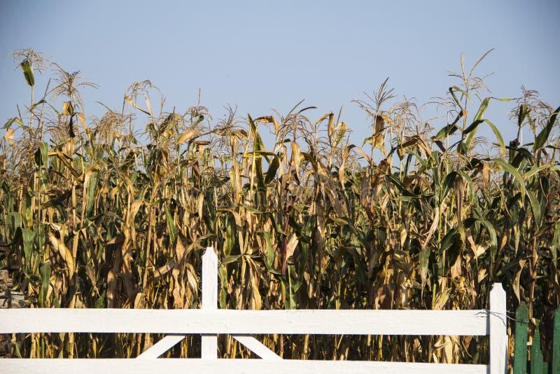 Τομέας καλαμποκιού στη Μολδαβία το φθινόπωρο στοκ εικόνες