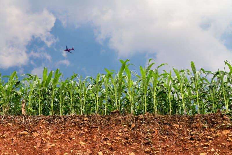 Τομέας καλαμποκιού σποροφύτων στην κόκκινη lateritic εδαφολογική διατομή με το αεροπλάνο στοκ φωτογραφία με δικαίωμα ελεύθερης χρήσης