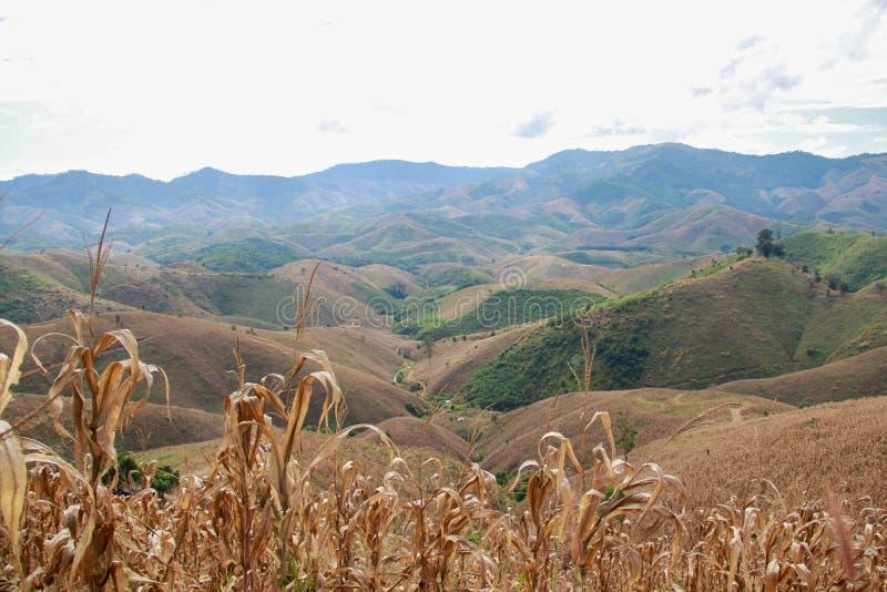 Τομέας καλαμποκιού στο λόφο στοκ εικόνα