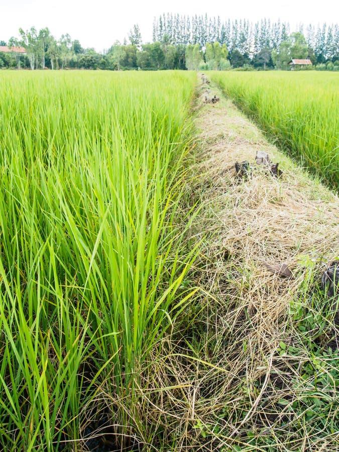 Τομέας κορυφογραμμών και ρυζιού στοκ φωτογραφίες