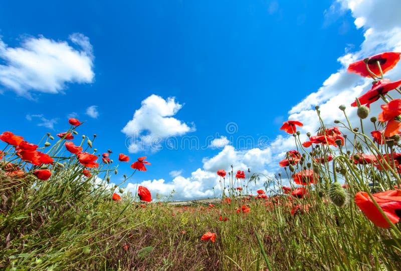 Τομέας με τα κόκκινα λουλούδια παπαρουνών ενάντια στο μπλε ουρανό με τα άσπρα σύννεφα στοκ φωτογραφίες