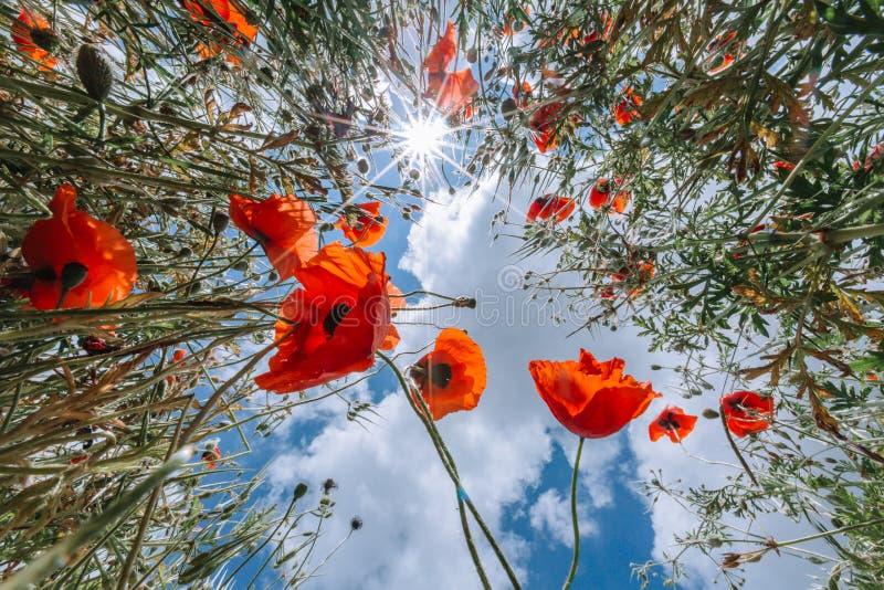 Τομέας με τα κόκκινα λουλούδια παπαρουνών ενάντια στο μπλε ουρανό με τα άσπρα σύννεφα στοκ εικόνες με δικαίωμα ελεύθερης χρήσης
