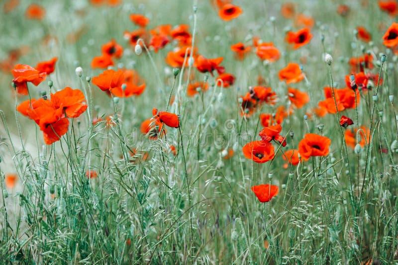 Τομέας με τα κόκκινα λουλούδια παπαρουνών ενάντια στο μπλε ουρανό με τα άσπρα σύννεφα στοκ εικόνες