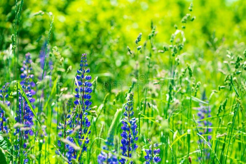 Τομέας με τα πορφυρά λουλούδια lupine : o στοκ φωτογραφία