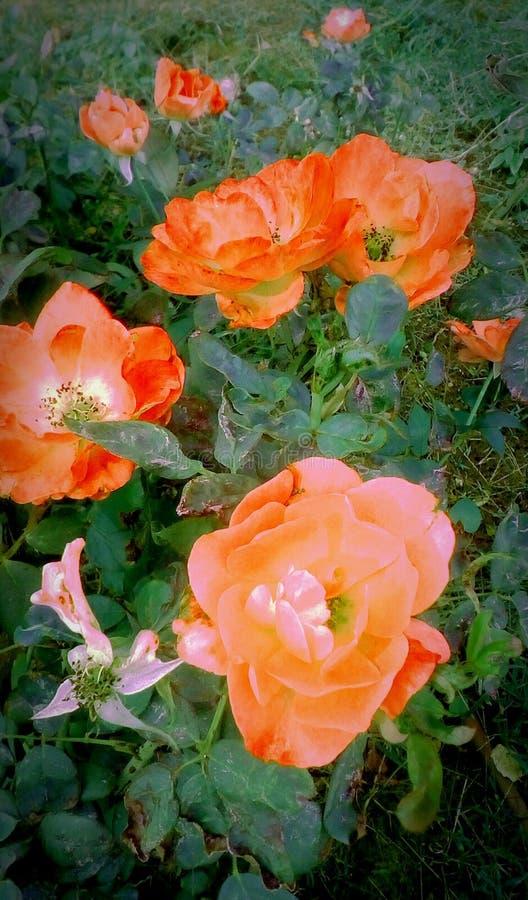 Τομέας με τα τριαντάφυλλα απεικόνιση αποθεμάτων