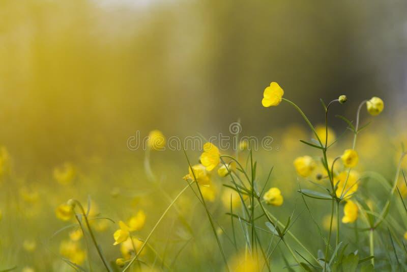 Τομέας με τη χλόη και τον κίτρινο χρόνο λουλουδιών την άνοιξη στοκ εικόνα με δικαίωμα ελεύθερης χρήσης