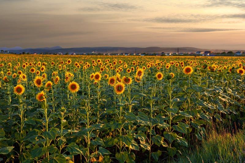 Τομέας με το γεωργικό ηλίανθο εγκαταστάσεων συγκομιδών στον ήλιο βραδιού στοκ φωτογραφίες
