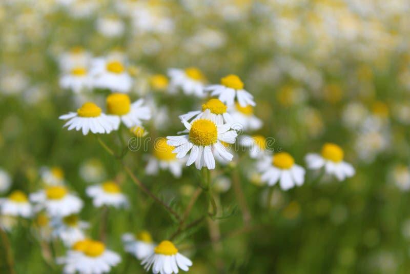 Τομέας με το chamomile chamomilla Matricaria εγκαταστάσεων στο λουλούδι στοκ εικόνες