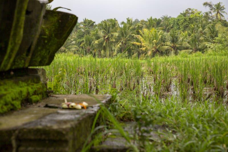 Τομέας Μπαλί ρυζιού στοκ φωτογραφία με δικαίωμα ελεύθερης χρήσης