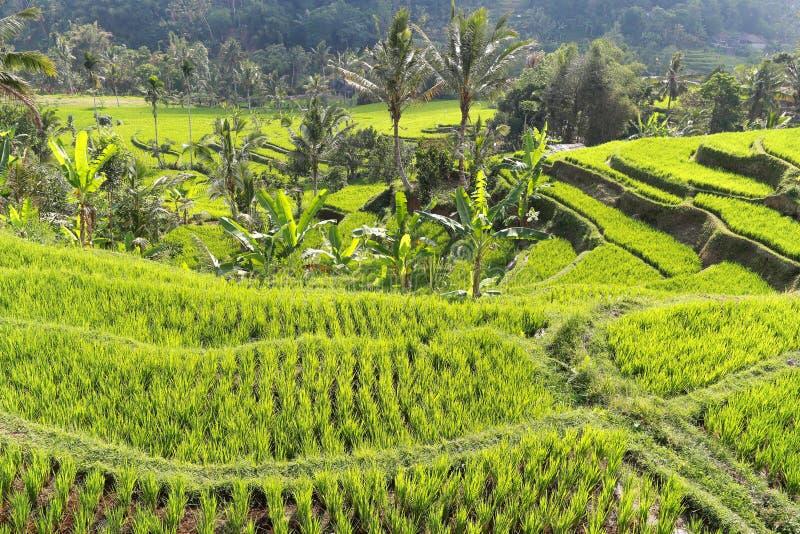 Τομέας Μπαλί Ubud ρυζιού στοκ φωτογραφία