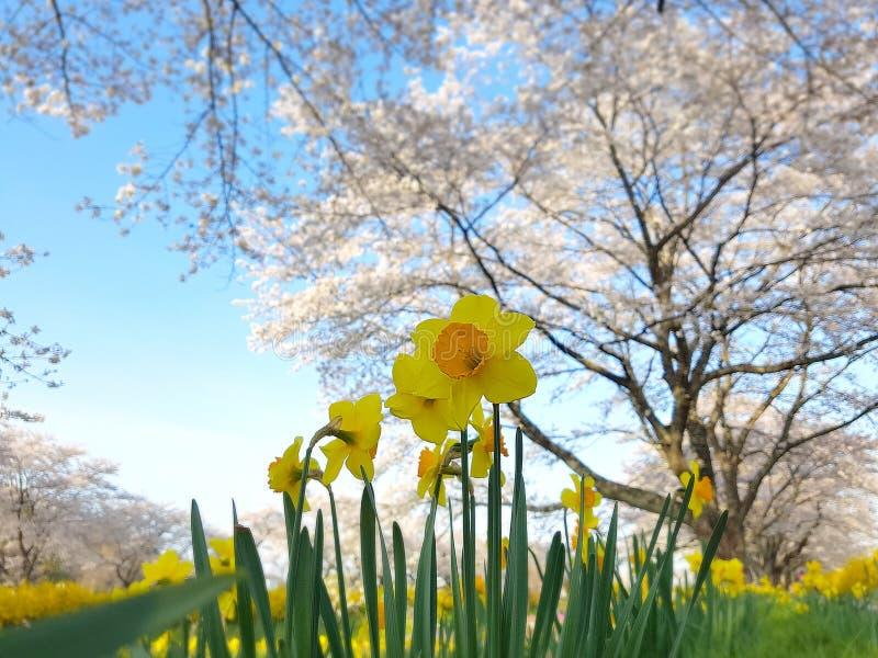 Τομέας ναρκίσσων με το υπόβαθρο Φ δέντρων ανθών κερασιών Sakura στοκ εικόνες