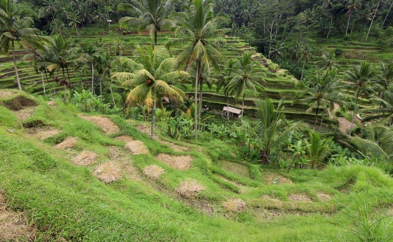 Τομέας ορυζώνα ρυζιού πεζουλιών σε Ubud, Μπαλί στοκ εικόνες