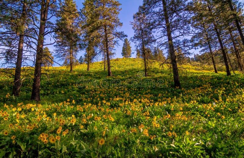 Τομέας λουλουδιών Balasamroot, πολιτεία της Washington στοκ εικόνες με δικαίωμα ελεύθερης χρήσης