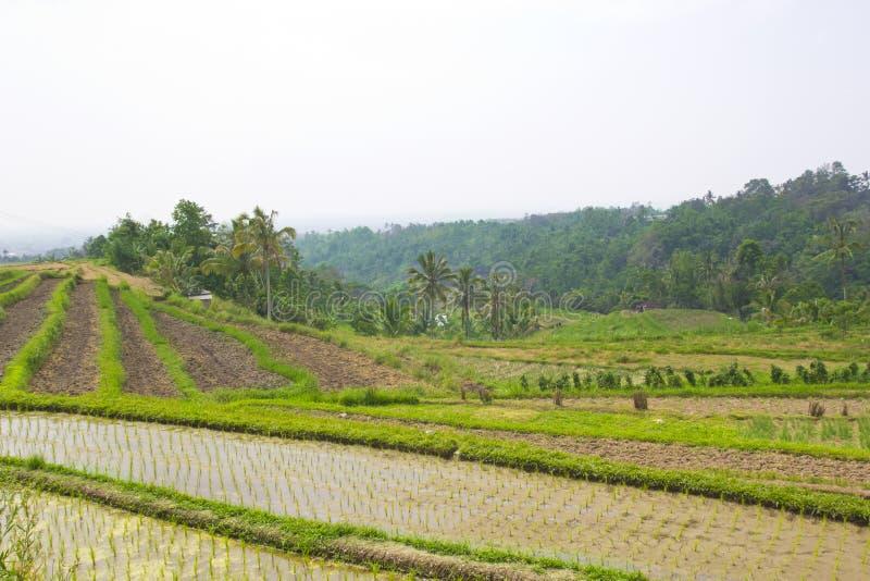 Τομέας πεζουλιών ρυζιού, Ubud Μπαλί, Ινδονησία στοκ φωτογραφία