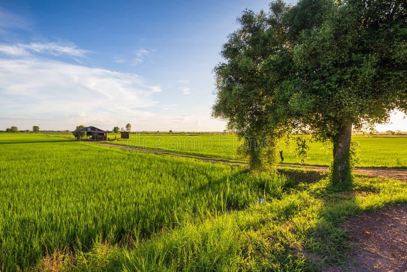 Τομέας ρυζιού και Jujube δέντρο στοκ εικόνα