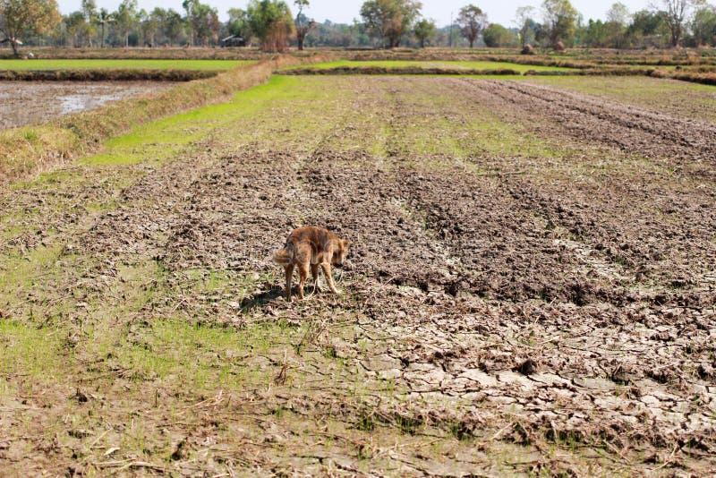 Τομέας ρυζιού κατά τη διάρκεια της ξηρασίας στοκ εικόνα με δικαίωμα ελεύθερης χρήσης