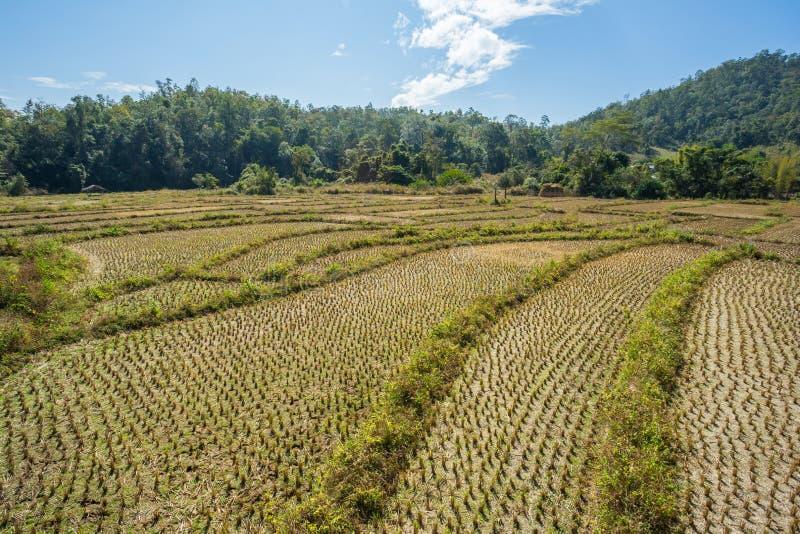 Τομέας ρυζιού μετά από συγκομισμένος στοκ φωτογραφία με δικαίωμα ελεύθερης χρήσης