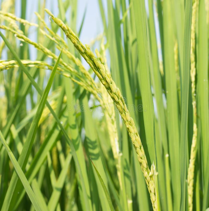 Τομέας ρυζιού με τα πράσινα και κίτρινα φύλλα στην Ασία Ταϊλάνδη στοκ φωτογραφία με δικαίωμα ελεύθερης χρήσης