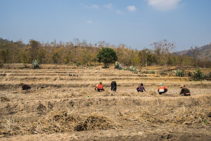 Τομέας ρυζιού που επηρεάζεται από συνεχείς τον υψηλής θερμοκρασίας και την ξηρασία σπάνιους, αποτυχία συγκομιδών στη Gia Lai, κεν στοκ εικόνες με δικαίωμα ελεύθερης χρήσης