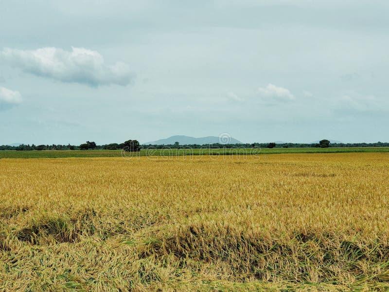 Τομέας ρυζιού στη κεντρική περιοχή της Ταϊλάνδης, η ζωή γεωργίας των ταϊλανδικών λαών στοκ εικόνες