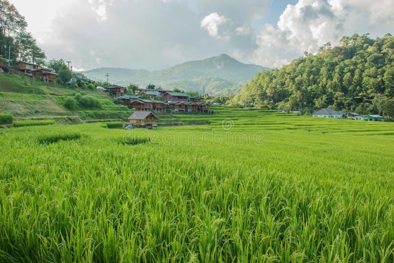 Τομέας ρυζιού στο βόρειο τμήμα της Ταϊλάνδης στοκ εικόνα με δικαίωμα ελεύθερης χρήσης