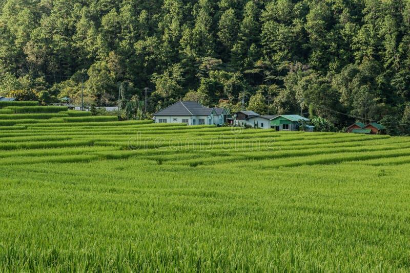 Τομέας ρυζιού στο βόρειο τμήμα της Ταϊλάνδης στοκ εικόνες με δικαίωμα ελεύθερης χρήσης