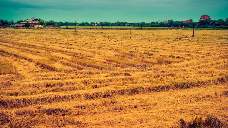 Τομέας ρυζιού του τοπίου στοκ εικόνες