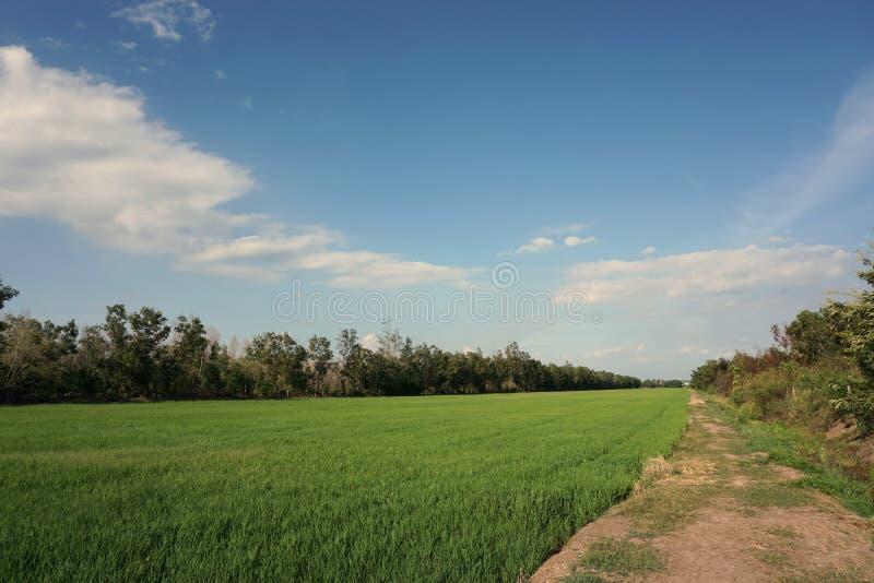 Τομέας ρυζιού το μεσημέρι στοκ φωτογραφίες με δικαίωμα ελεύθερης χρήσης