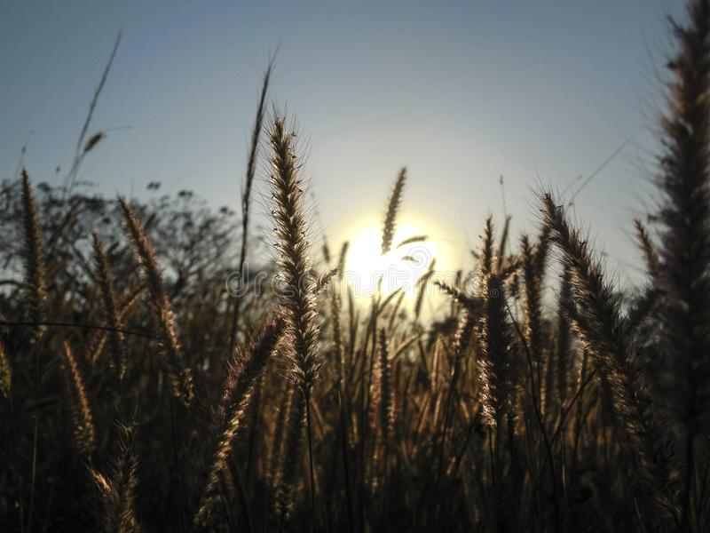 Τομέας σίτου αναμμένος από τον ήλιο αμέσως πριν από το ηλιοβασίλεμα στοκ εικόνες