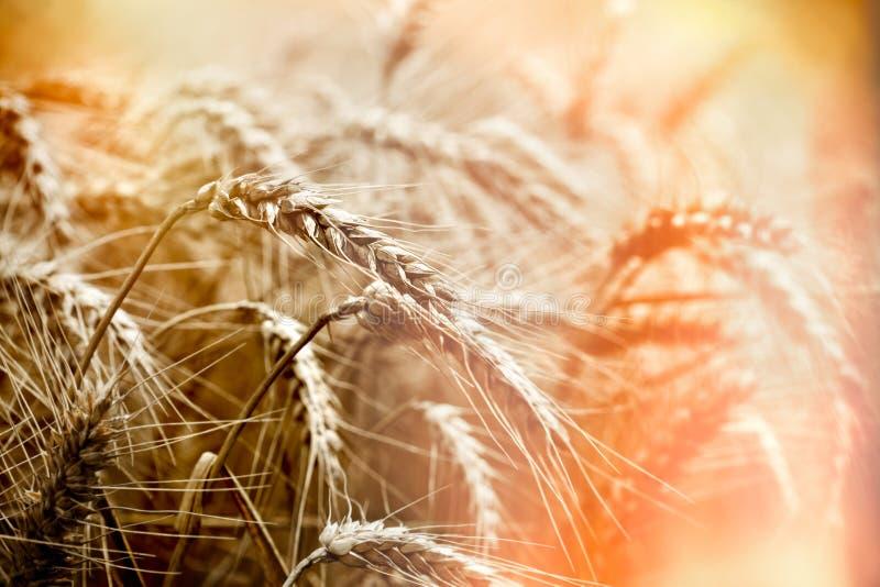 Τομέας σίτου, εκλεκτική εστίαση στο αυτί του σίτου, ηλιοβασίλεμα στο γεωργικό τομέα στοκ εικόνες