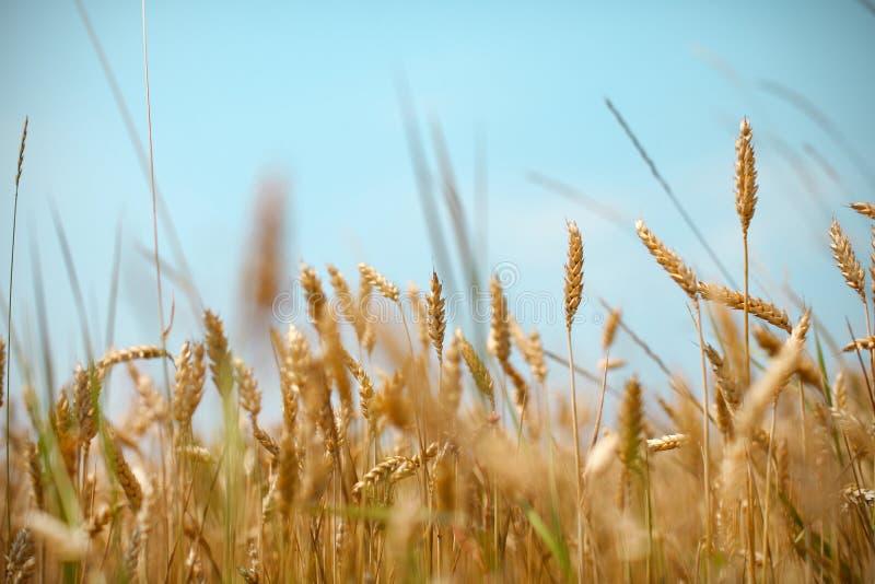 Τομέας σίτου και σιτάρι δημητριακών ενάντια στους μπλε ουρανούς στοκ φωτογραφίες