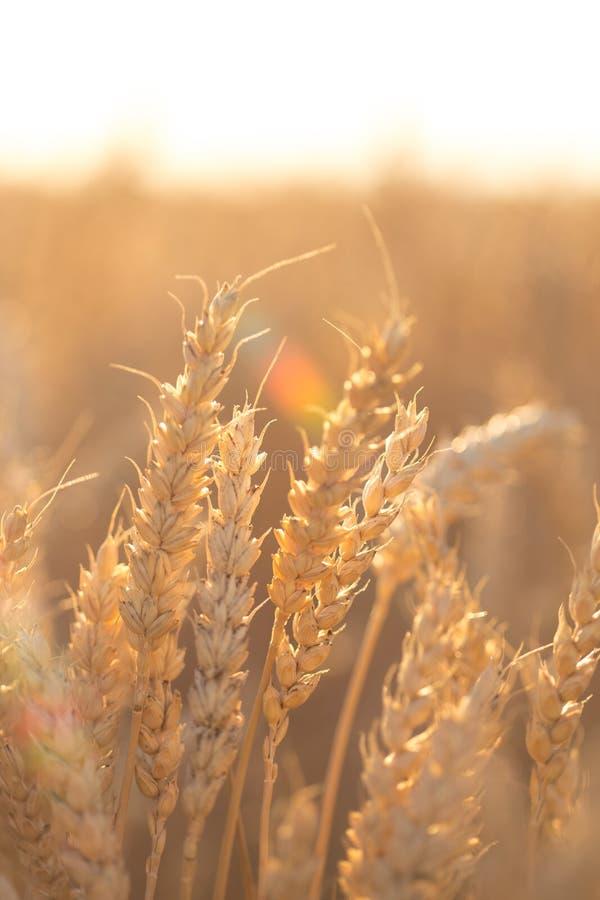 Τομέας σίτου Τα αυτιά του χρυσού σίτου κλείνουν επάνω Όμορφο τοπίο ηλιοβασιλέματος φύσης Αγροτικό τοπίο κάτω από να λάμψει το φως στοκ φωτογραφία με δικαίωμα ελεύθερης χρήσης