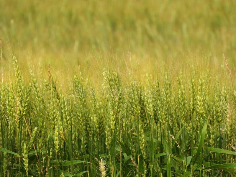 Τομέας σιταριού κριθαριού που χρησιμοποιείται στη βιομηχανία γεωργίας NYS στοκ εικόνες