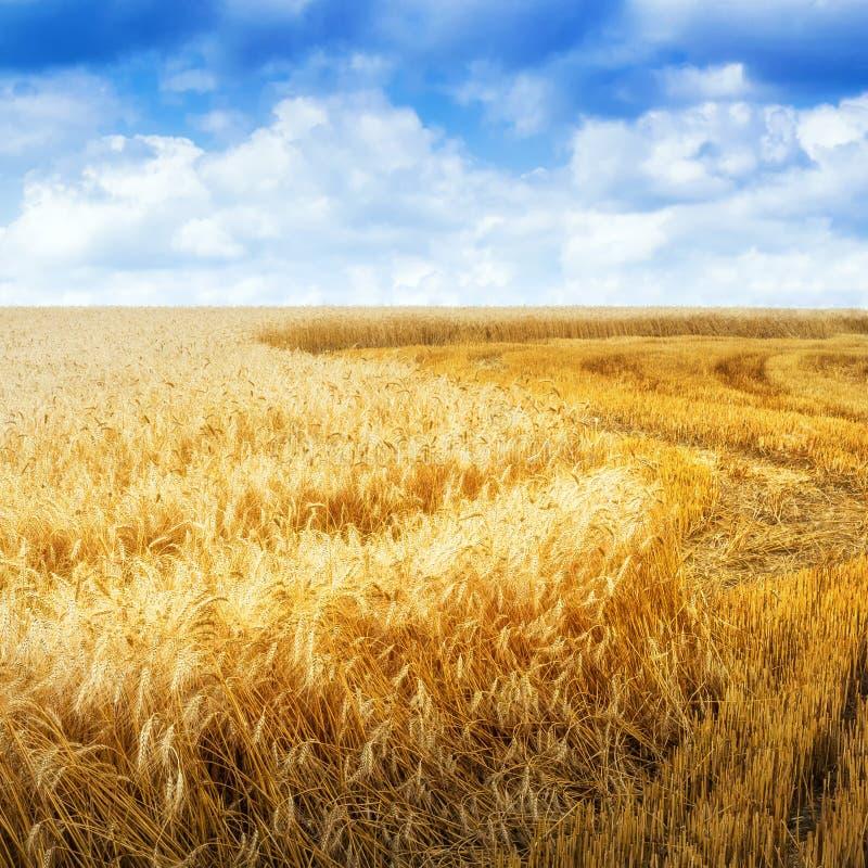 Τομέας σιταριού στη θερινή ημέρα στοκ εικόνες με δικαίωμα ελεύθερης χρήσης