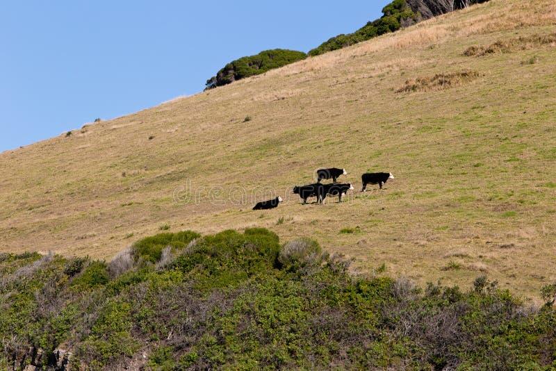 Τομέας στο λόφο στην ακτή με τις αγελάδες - παραλία Blueys, νέος νότος W στοκ εικόνες