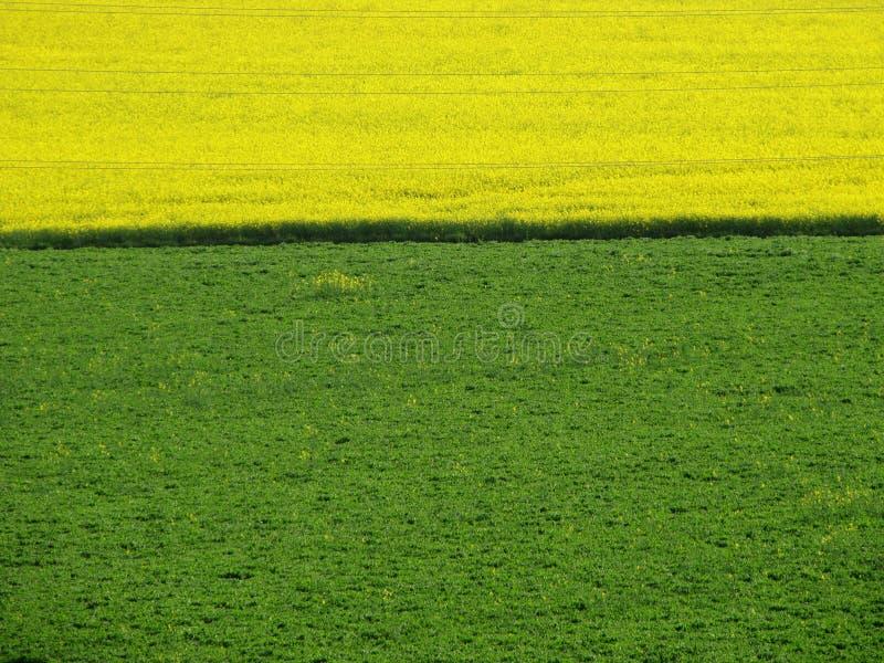 Τομέας συναπόσπορων και πράσινο λιβάδι πράσινος κίτρινος ανασκόπ&e στοκ εικόνες
