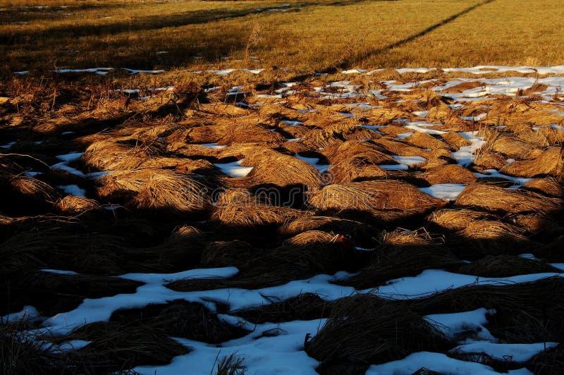Τομέας της χρυσής χλόης με το χιόνι στοκ φωτογραφίες