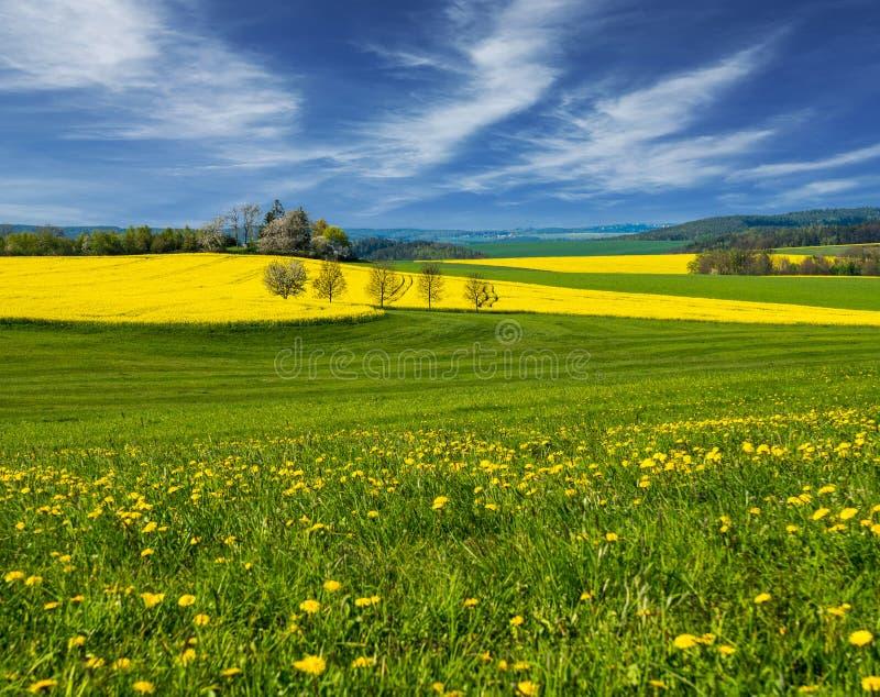 Τομέας Τοπίο Τομέας συναπόσπορων Πεδίο των κίτρινων λουλουδιών στοκ εικόνα με δικαίωμα ελεύθερης χρήσης