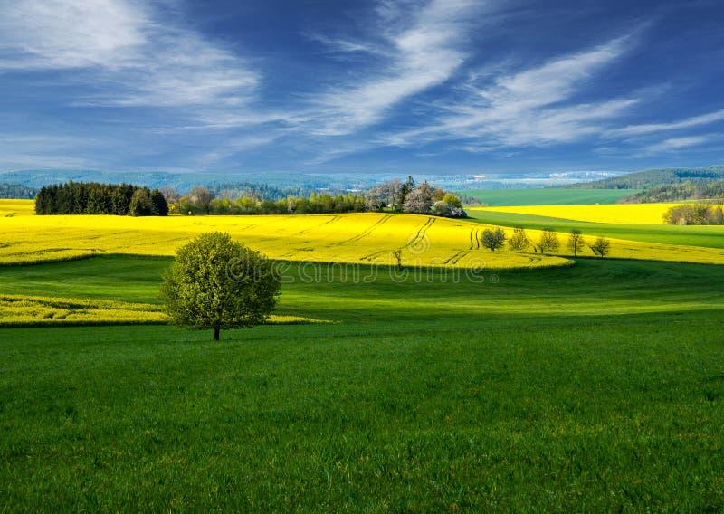Τομέας Τοπίο Τομέας συναπόσπορων Τομείς των φωτεινών κίτρινων λουλουδιών συναπόσπορων με τους λόφους και τα δέντρα Πεδίο των κίτρ στοκ εικόνες