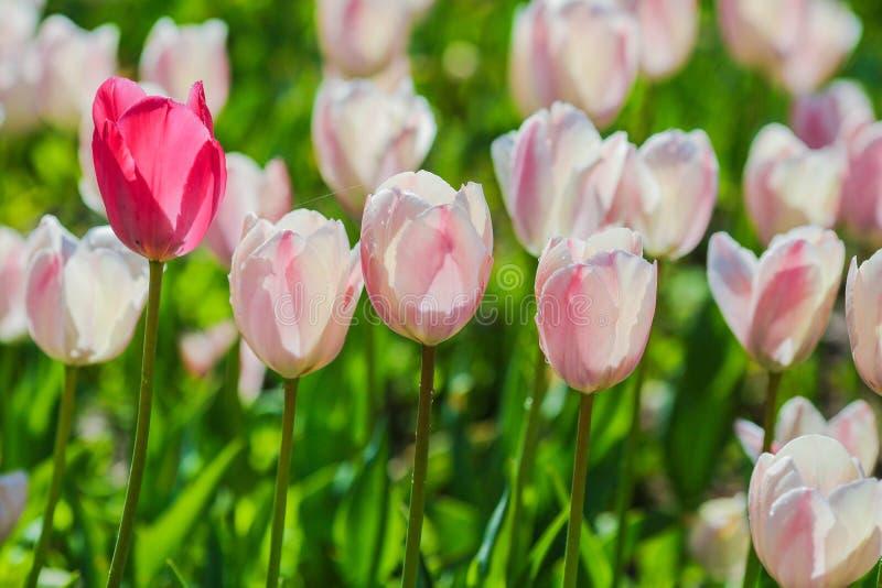 Τομέας τουλιπών της Ολλανδίας Άνοιξη μαγική του άνθους Ολλανδικά λουλούδια Ζωηρόχρωμο ανθίζοντας τοπίο Κάτω Χώρες, Lisse - τουλίπ στοκ εικόνα