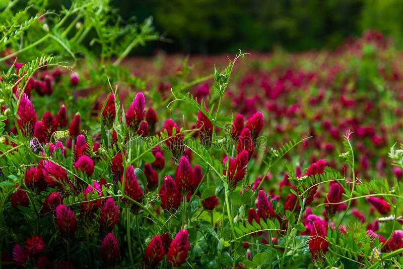 Τομέας του ανθίζοντας Trifolium πορφυρών τριφυλλιών αγροτικού τοπίου incarnatum στοκ φωτογραφίες με δικαίωμα ελεύθερης χρήσης